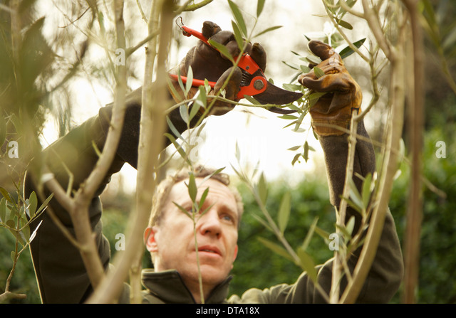 Gardener Pruning Tree - Stock Image