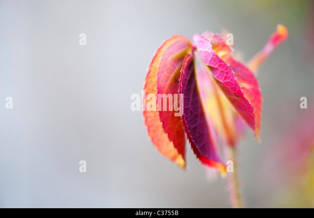 Rose plant. Rosa Gertrude Jekyll leaves - Stock Image