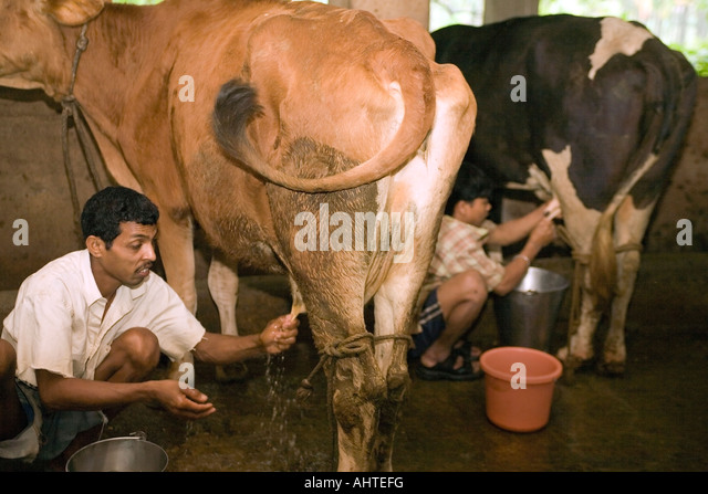 Migrant dairy labourers hand-milking  cows in a small scale privately owned dairy farm. Goa India - Stock Image