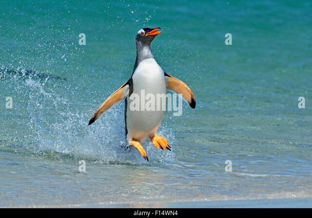 Gentoo penguin (Pygoscelis papua) jumping onto beach, Carcass Island, Falkland Islands. - Stock Image