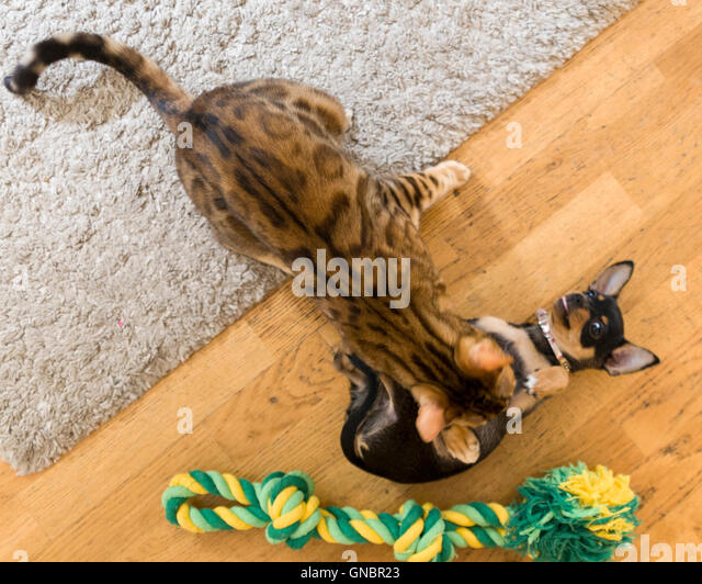 Female Bengal cat and female Chihuahua puppy play fighting over pet toy - Stock Image