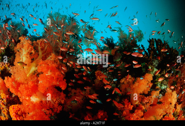 colorful coral reef with soft corals and anthias - Stock Image