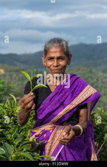 Female tea picker holding freshly picked tea leaves, Sri Lanka - Stock Image