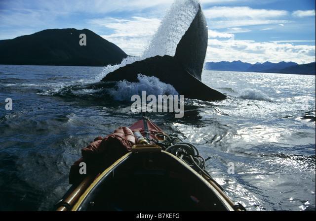Humpback Whale lobtailing, Chatham Straits, Southeast Alaska - Stock Image