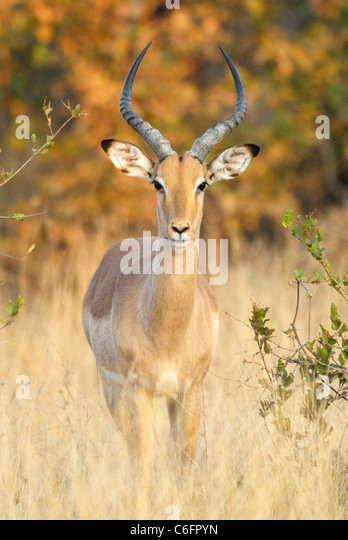 Male Impala in Kruger National Park, South Africa - Stock-Bilder