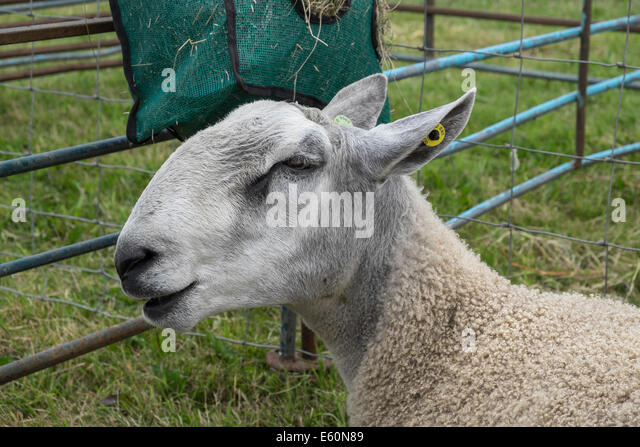 CLOSE-UP OF BLUEFACED LEICESTER SHEEP IN PEN AT COUNTRY AGRICULTURAL SHOW CHEPSTOW WALES UK - Stock Image