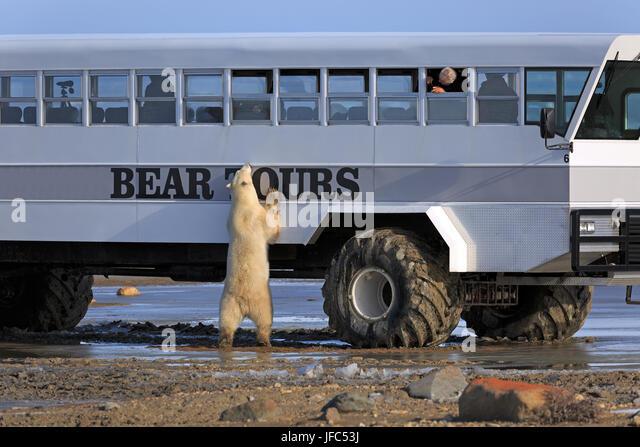 Polar bear at the tundra buggy - Stock Image