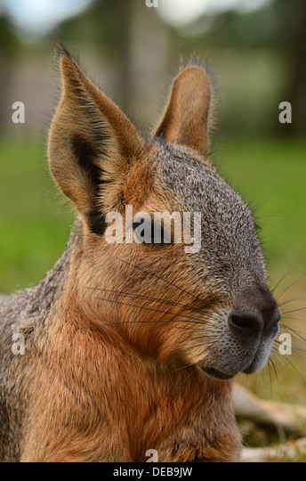 A Mara (Dolichotis) also known as Patagonian Cavy - Stock Image