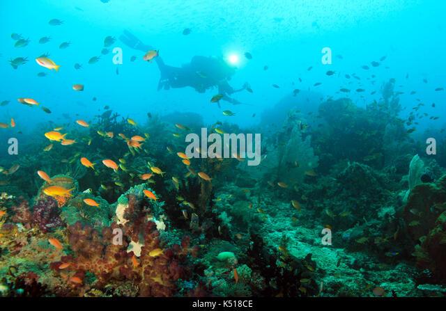 Scuba Diver over Coral Reef. Dampier Strait, Raja Ampat, Indonesia - Stock Image