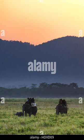 Elephant safari in Kaziranga national park in Assam, India. - Stock Image