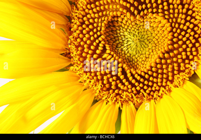 stamens in the form of heart on a sunflower - Stock-Bilder