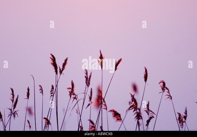 Phragmites reeds silhouetted at dusk Norfolk winter UK - Stock Image