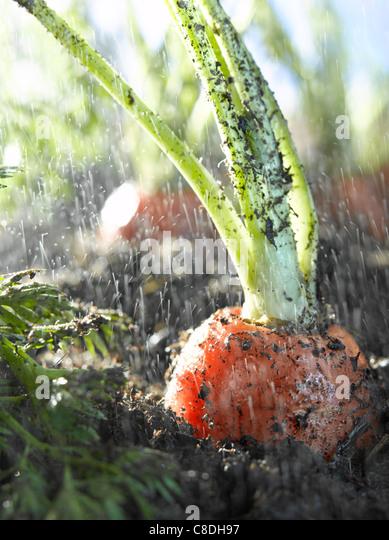 Carrots in earth - Stock-Bilder