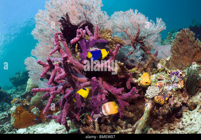 Bicolor angelfish, Klein's butterflyfish with gorgonian and purple encrusting sponge, Misool, West Papua, Indonesia - Stock Image