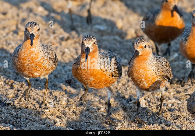 Red Knots on the Beach - Stock Image
