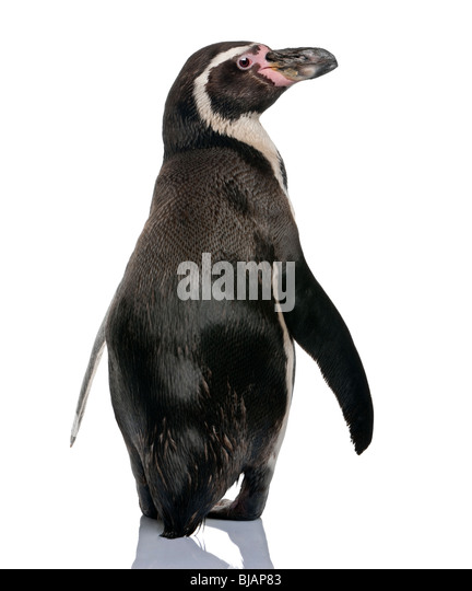 Humboldt Penguin, Spheniscus humboldti, standing in front of white background - Stock Image
