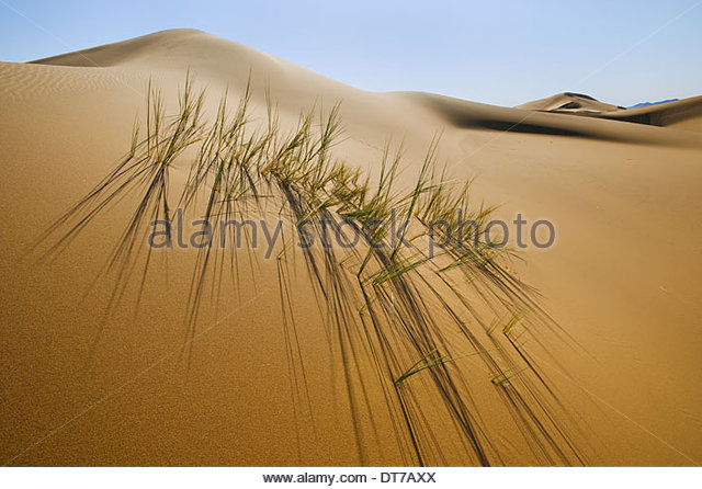 Grasses in sand dunes Namib-Naukluft National Park Namibia Namib-Naukluft National Park Namibia - Stock Image