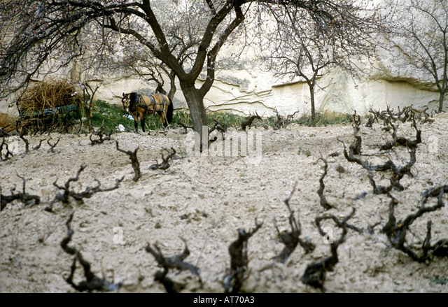 Vineyards in spring Cappadocia - Stock Image