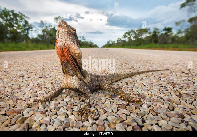 Frilled-neck Lizard (Chlamydosaurus kingii) - Stock-Bilder