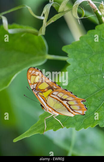 Butterfly in butterfly house in New Forest Wildlife Park Hampshire United Kingdom - Stock-Bilder