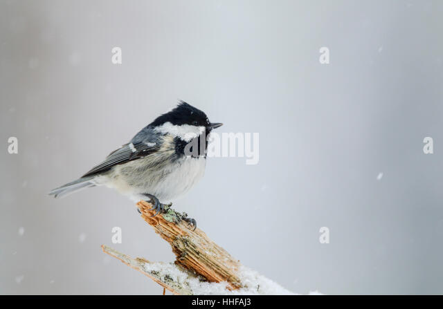 Coal tit, Latin name Periparus ater, perched on a dead tree during a snow shower - Stock Image