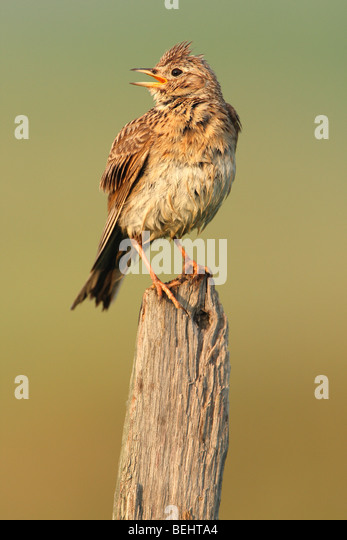 Eurasian Skylark (Alauda arvensis) singing from fence pole along field - Stock Image