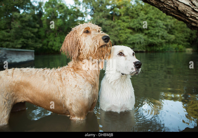 A golden labradoodle and a small white mixed breed dog standing in the water looking up expectantly. - Stock Image