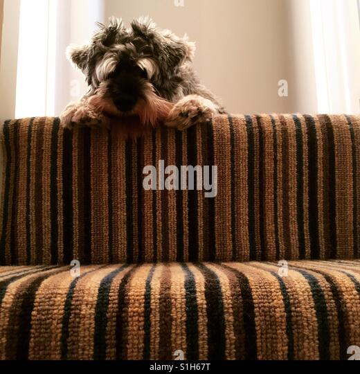 Schnauzer on the stairs - Stock-Bilder