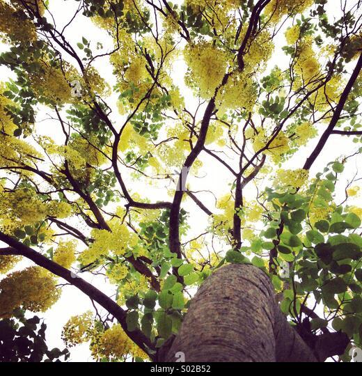Yellow leaf tree - Stock Image