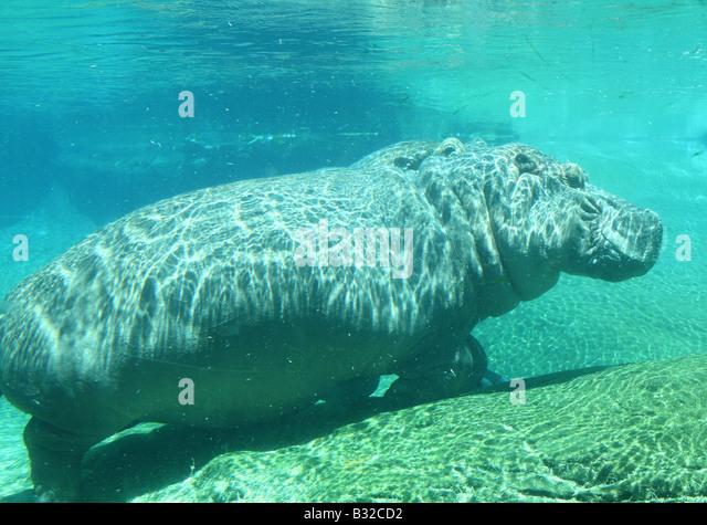 Hippo Hippopotamus underwater - Stock-Bilder