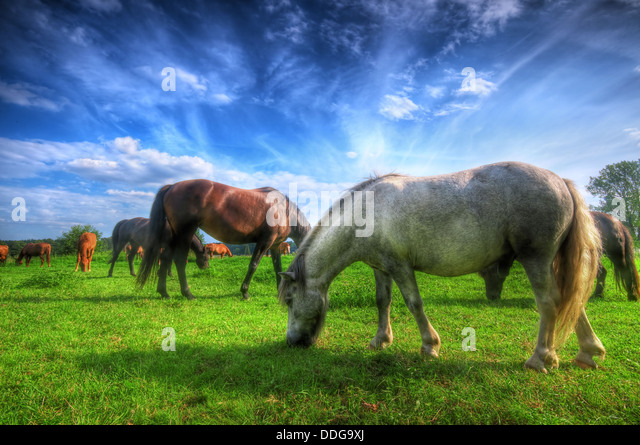 Beautiful horses in a field. - Stock Image