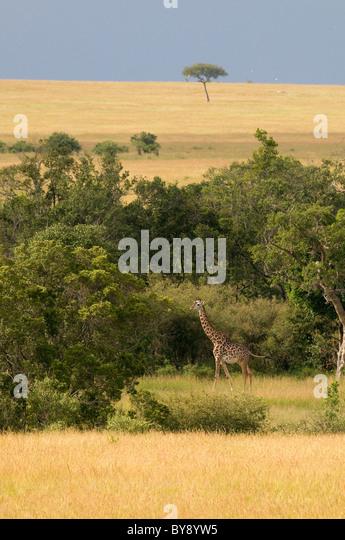 Masai Giraffe - Stock Image