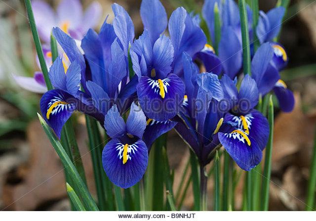 iris reticulata harmony stock photos iris reticulata. Black Bedroom Furniture Sets. Home Design Ideas