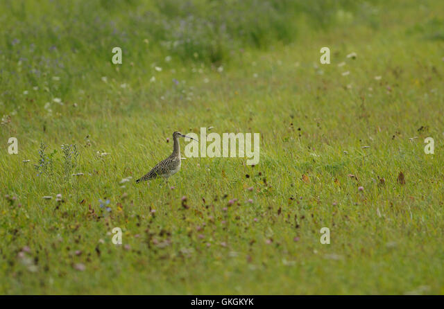 Eurasian curlew ( Numenius arquata ) near Mihkli village in Pärnu county, Estonia - Stock Image