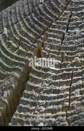 Radial rings on the top of a wooden fencing post. - Stock Image