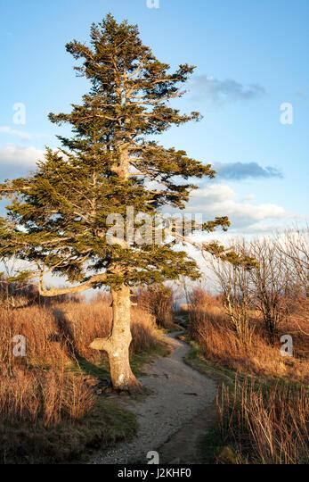 Lone tree on Art Loeb Trail near Black Balsam Knob - Blue Ridge Parkway, North Carolina, USA - Stock Image