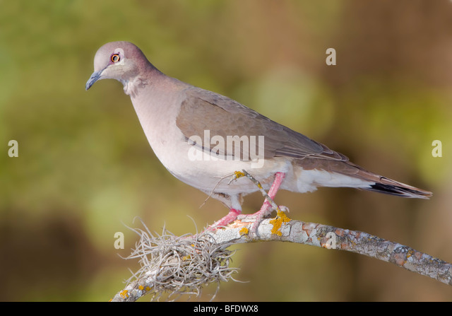 White-tipped Dove (Leptotila verreauxi) perched on a branch in the Rio Grande Valley of Texas, USA - Stock Image