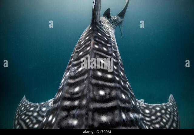 Whale Shark (Rhincodon typus) swimming in the deep water off Malapascua Island, Cebu, Philippines - Stock Image