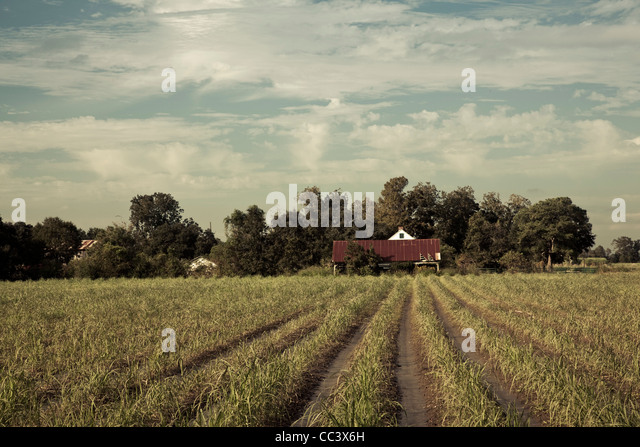 USA, Louisiana, Cajun Country, Emma, sugar cane plantation - Stock-Bilder