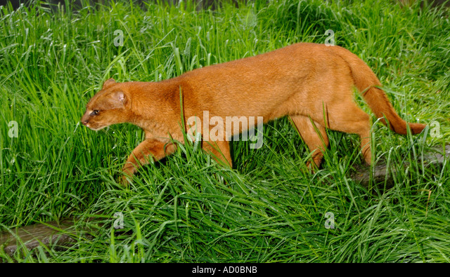 Jaguarundi Herpailurus yaguarundi Central and Tropical South America Captive Red colour phase - Stock Image