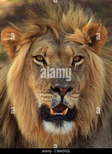 Lion portrait, Kgalagadi Transfrontier Park, Africa - Stock Image