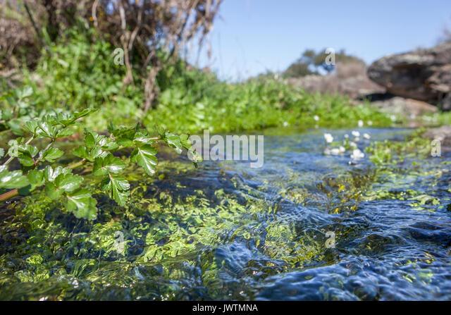 Fluvial vegetation on the stream of Muelas River, Cornalvo Natural Park, Extremadura, Spain - Stock Image