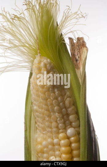 Ear of sweet corn shows Water Stress, fewer kernels per row, as the worst U.S. drought in more than 50 years intensifies. - Stock Image