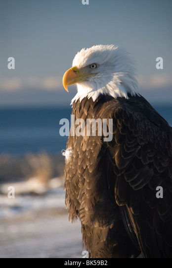 Bald eagle, Homer, Alaska, United States of America, North America - Stock Image