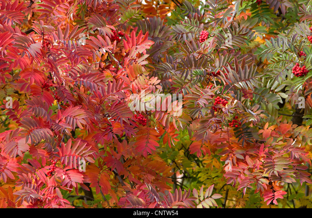 autumn rowan leaves in the trees as the background - Stock-Bilder