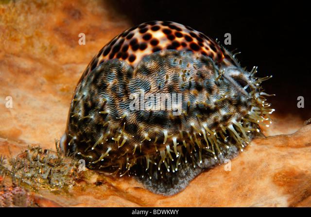 Tiger porcelain sea slug (Cypraea tigris), shell, Bali, island, Lesser Sunda Islands, Bali Sea, Indonesia, Indian - Stock Image