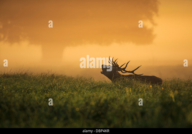 Stag In Field At Dawn - Stock-Bilder