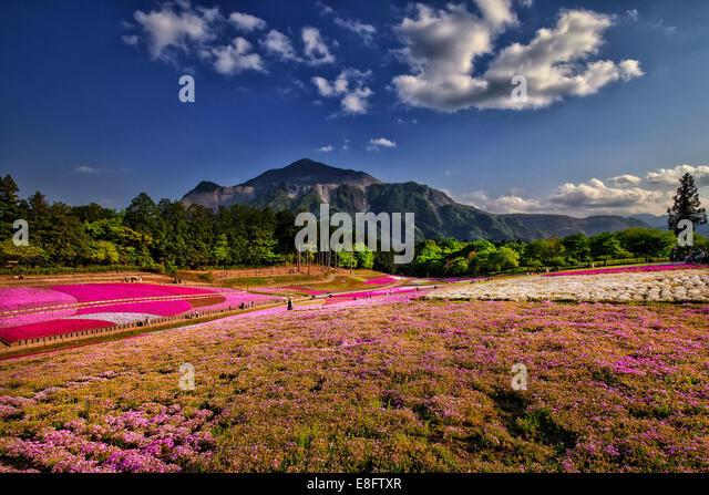 Japan, Saitama prefecture, Chichibu park, View of shibazakura - Stock Image