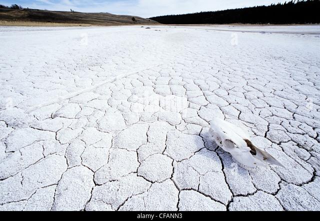 Horse's skull on saline lake in the Cariboo region of British Columbia, Canada - Stock Image