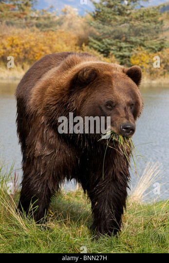 CAPTIVE adult Brown bear eating grass along the shore of a pond, Alaska Wildlife Conservation Center, Alaska - Stock Image